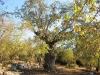 Израиль. Кирьят-Тивон. Древний таворский дуб