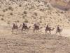 Израиль. Пустыня Негев. Катание на верблюдах