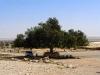 Дерево у начала осмотра парка Тель-Арад