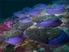 Израиль. Красное море. Подводные коралловые поля