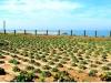 Ашкелон. Сельскохозяйственные посадки