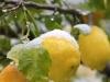 Иерусалим. Зима. Снег на созревающих лимонах