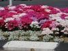 Раанана. Цветы