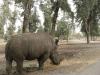 Рамат-Ган. Сафари. Носорог