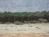 Роща пальм-клонов по дороге в Эйлат